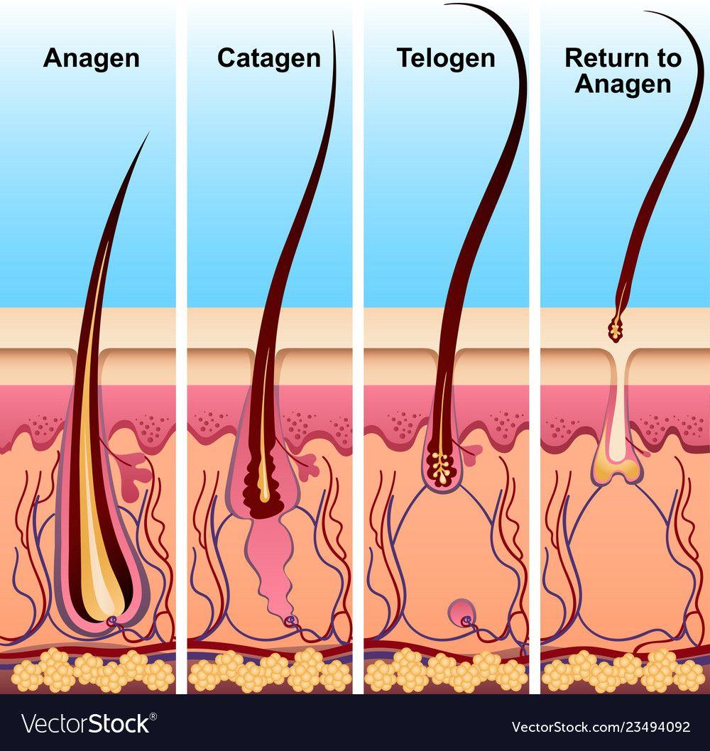 چرخه رشد موها